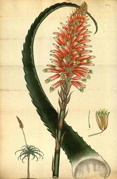 Aloe -- from: Andrews, H.C., The botanist's repository, vol. 7: t. 469 (1806-1807)