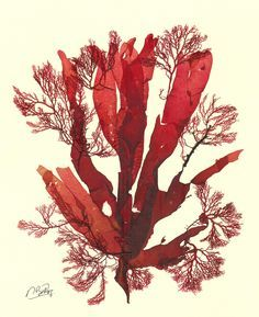 Carrageen red seaweed (Chondrus crispus). The thallus of this ...