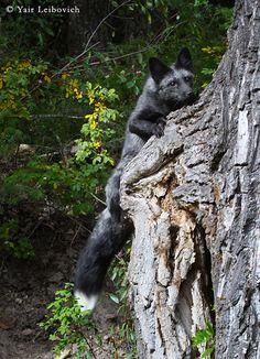 tree fox 2. Yair-Leibovich