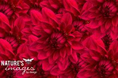 Black Friday Sale, Red Zinnia Flowers - Flowers In Bloom - Red - under 50, Nature Photography, wall art, home decor, fine art photograph  $30.00