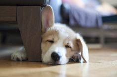 "Corgi puppy with one floppy ear, so cute!... I should just make a separate board called "" floppy Ears"" :-)"