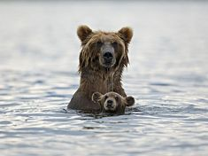 bear-swimming-kamchatka-russia_82982_990x742.jpg (990×742)