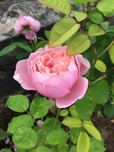 Austin roses The Alnwick rose. Jennysvitavillervalla.blogspot.se