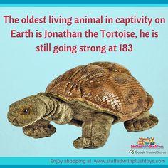 Celebrate Jonathon's amazing age with your very own Tortoise Plush Toy from the amazing range of National Geographic Plush Toys #tortoises #galapagos #tortoise #plushie #plushtoy #stuffedanimal #toyshop #nature #nationalgeographic