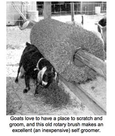 Old rotary broom for Goat or Pig scrubber...  click through for more Goat Toy ideas... Goat Playground, Goat Feeder, Goat Toys, Goat Shelter, Goat Pen, Boer Goats, Goat Care, Nigerian Dwarf Goats, Raising Goats