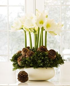 amaryllis bulbs, bunched boxwood branches, and pine cones