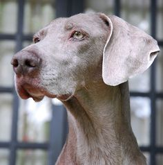 Closeup of a Weimaraner... beautiful dog!