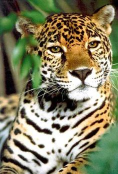 JAGUAR - What a beautiful #animal.  Love to see you in the wild.  Pinned by #vacation planning experts www.4tulemar.com