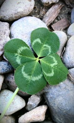 my mother found a four leaf clover the other day! Beautiful Flowers, Beautiful Pictures, Four Leaves, Happy St Patricks Day, Luck Of The Irish, Four Leaf Clover, Belle Photo, Shades Of Green, Flower Power