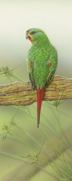Swift Parrot by Christopher Pope Wildlife Paintings, Wildlife Art, Bird Paintings, Watercolor Paintings, Exotic Birds, Colorful Birds, Owl Artwork, Hyper Realistic Paintings, Parrots
