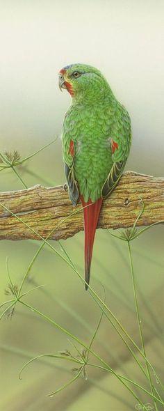 Swift Parrot - Christopher Pope