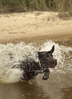 Houser, a chocolate Labrador retriever from Santa Rosa Beach, Florida