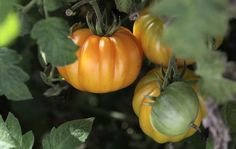 Sådan undgår du tomatsygdomme