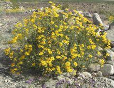 """Encelia californica  """"Coast Sunflower"""""""
