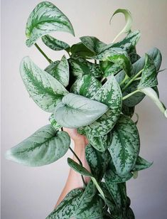 🌿 Plants with silver foliage? You ha… Scindapsus pictus 'Silvery Ann'. 🌿 Plants with silver foliage? You have my full attention. Unusual Plants, Exotic Plants, Tropical Plants, Cactus Plants, Garden Plants, Succulent Planters, Succulents Garden, Hanging Planters, Air Plants