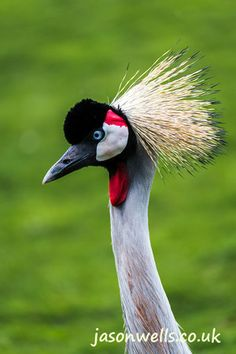Grey crowned crane portrait. See the rest of my wildlife images in full size by clicking on the thumbnail.  They are also available to buy in a variety for formats or as a digital download without the watermark.