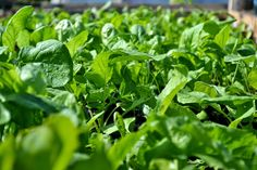 Growing Vegetables, Spinach, Beds, Hot, How To Make, Bedding, Planting Vegetables, Bed
