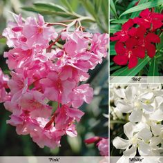 Oleander - All Thompson & Morgan Plants - Thompson & Morgan