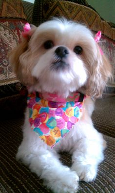 Shih Tzu Miss Daisy