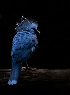 This bird a Victoria Crowned Pigeon is very different from the pigeon we see in towns and cities. The crowned pigeon is quite spectacular, being blue in colour and as tall as a turkey (74 cm). It has a large crest of feathers on its head that can be raised - hence its name. It is the largest of all living pigeons and is found in the wild only in New Guinea and some smaller offshore islands nearby. These beautiful birds forage the forest floor for fruit, seeds and snails. They seem to spend…