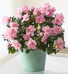 Florist's azalea care tips for growing azaleas as house plants. Get tips for growing, pruning and fertilizing azaleas indoors.