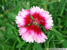 Oeillet de Chine, Dianthus sinensis, Dianthus chinensis