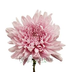 Add mums to your wishlist at FiftyFlowers.com! A light lavender pink flower, this football mum would add a wonderful textural element to a bouquet of our Esther Light Pink Roses for a feminine, monochromatic look. This bloom is offered in quantities of 6 and 11 bunches!