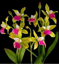 Green and pink Phaius Tankerville Orchids | orkidéer | Pinterest ...