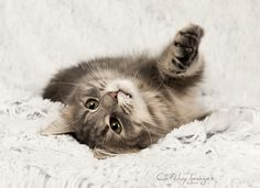 Victoria - Norwegian Forest Cat | Cat'chy Images 2015