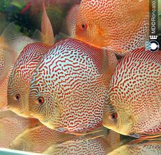 Discus Aquarium, Ocean Aquarium, Glass Aquarium, Discus Fish, Freshwater Aquarium Fish, Fish Care, Two Fish, Angelfish, Water Life