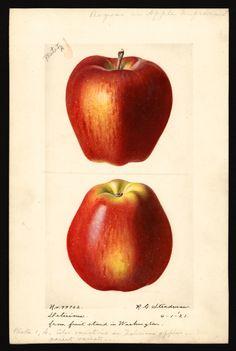 screen 453×675 pixels Vegetable Illustration, Fruit Illustration, Botanical Illustration, Botanical Drawings, Botanical Prints, Pear Drawing, Coloured Pencils, Digital Image, Flower Art