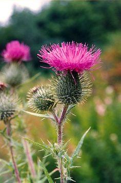 Wild Flowers of Nova Scotia - Thistle
