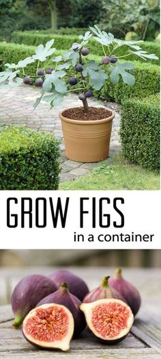 Indoor Vegetable Gardening How To Grow Figs in Containers - After publishing 17 Beautiful Container Garden Ideas and Plant Pots, Here we share with you Best Ideas To Grow Fruit Trees In Containers. Vertical Vegetable Gardens, Indoor Vegetable Gardening, Veg Garden, Organic Gardening Tips, Fruit Garden, Container Gardening, Garden Hoe, Gardening Blogs, Smart Garden