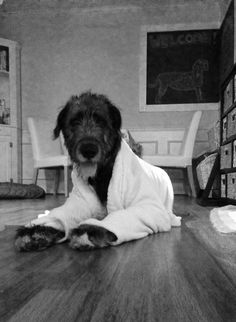 Easy like Sunday morning. In a bathrobe. (Irish Wolfhound)