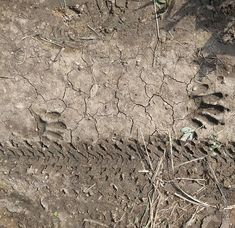 Sharing the trails. #footprints #raccoon #bike