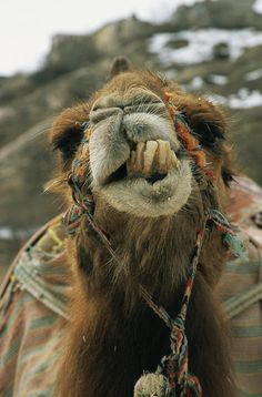 ✭ This Camel needs a Dentist.