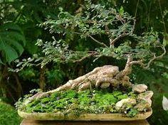 ulmus bonsai - Pesquisa Google