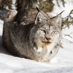 """""""Young Lynx enjoying the sunshine in Riding Mountain National Park. Had a great time photographing this cat today."""""""
