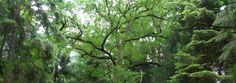Les Arbres vénérés par les Druides : Les arbres sont les supports naturels qui président tout rituel druidique. En étudiant les symboles des arbres, on peut leur accorder toutes les vertus qui leur convient. Les arbres sont vénérés dans la tradition druidique car ils possèdent tous une énergie unique, ils sont chargés de ressources cachées et de pouvoirs magiques. C'est pour cela que le druidisme les respecte et les honore.