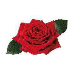 Róża czerwona - Rosa