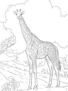 Click to see printable version of Female Masai Giraffe coloring page