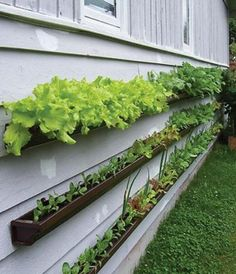 Rain gutters used as a vertical veggie garden