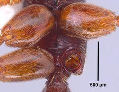 Odontomachus ruginodis M. R. Smith