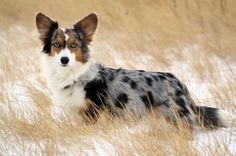 Find Out More On Fun Pembroke Welsh Corgis Puppy Personality corgi puppy Cardigan Welsh Corgi Puppies, Pembroke Welsh Corgi Puppies, Corgi Mix, Blue Merle Corgi, Pet Dogs, Dogs And Puppies, Weiner Dogs, Pugs, Corgi Facts