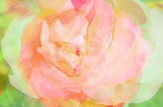 Achromatic Rose, Flowers, Plants, Painting, Ideas, Pink, Painting Art, Paintings, Plant