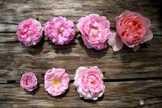 Pinks: En haut : Jacques Cartier - Salet - Marie-Rose - Brother Cadfael En bas : Hermosa - Mrs John Laing - Scepter d'Isle
