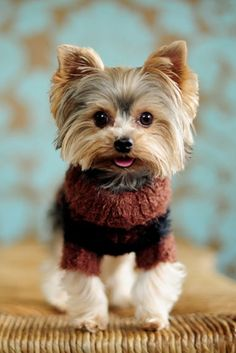 Yorkie in sweater.