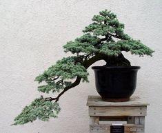 Bonsai Images - U. National Arboretum - Page 9 Jade Plant Bonsai, Bonsai Wire, Juniper Bonsai, Bonsai Garden, Garden Terrarium, Terrariums, Bonsai Tree Types, Indoor Bonsai Tree, Indoor Plants