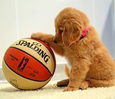 This pup who is trying to figure out how exactly it's going to get this ball in his mouth: | 23 Photos Of Golden Retriever Puppies That'll Warm Even The Most Cynical Of Hearts