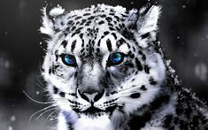 Along with the change in fur colour, the gene carried by the White Tiger's parents also meant that they have blue eyes rather than the green or yellow coloured eyes of normal Bengal Tigers. Description from all-things-women.blogspot.com. I searched for this on bing.com/images